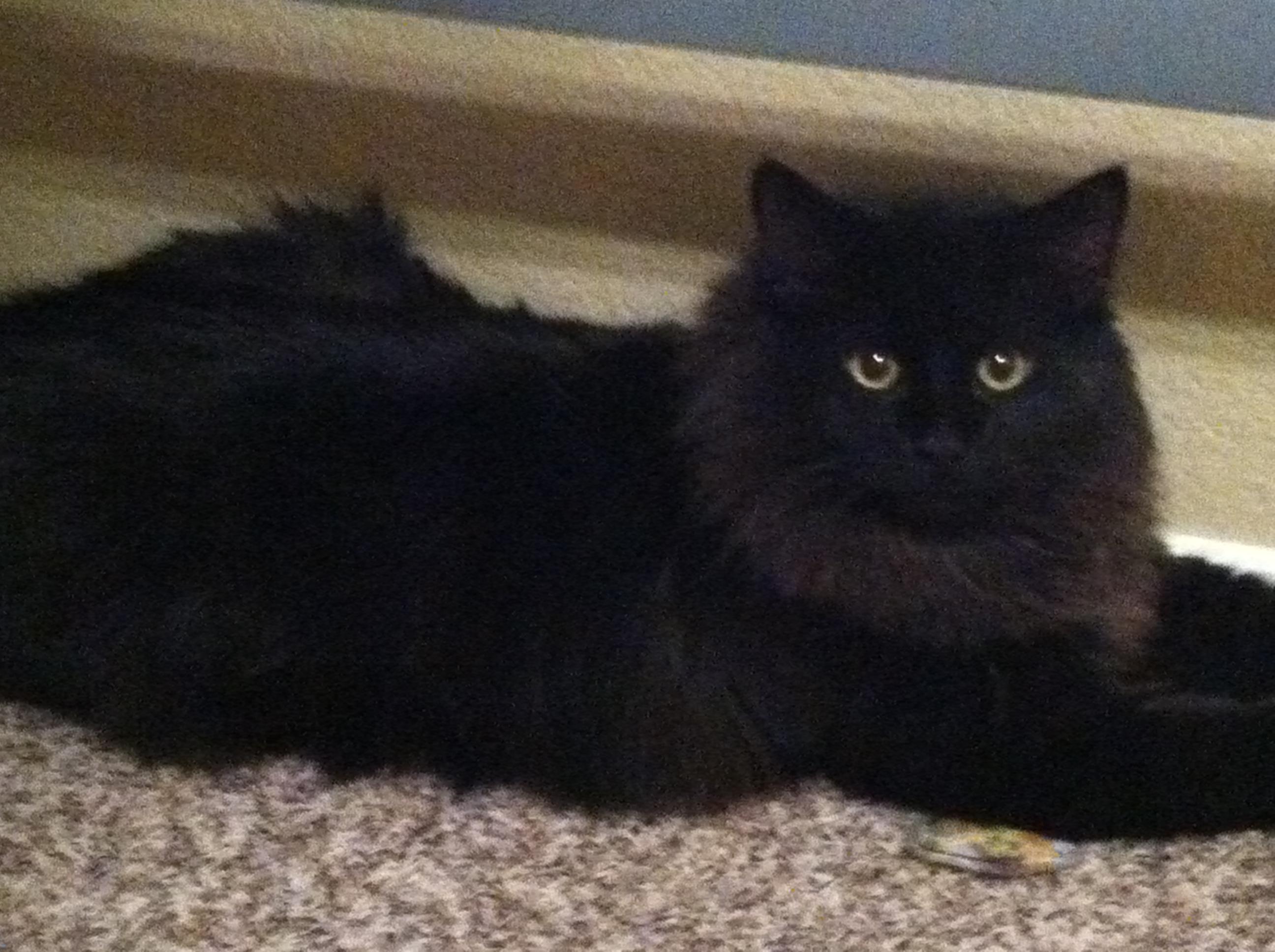 My Maine Coon Cat Fa' Tee | Qu...