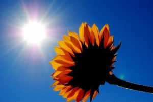Sunshine-sunflower