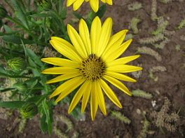 osteospermum_dandenong_yellow